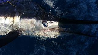 Solo Striped Marlin # 12 for Swordfishsteve