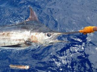 Steve Blue Marlin Released