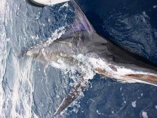 Solo marlin No 5 for Steve & First NZ 2013