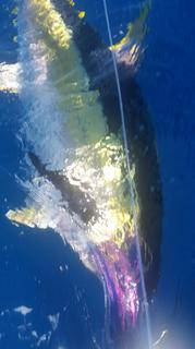 Tagged Yellowfin Tuna