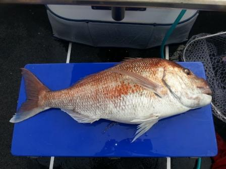 Magic 12kg Snapper Released