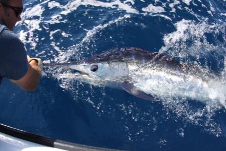 Paul and Steve Striped Marlin